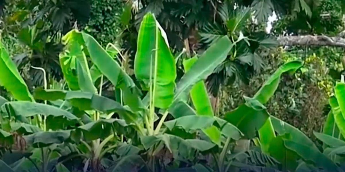Photo of Amenaza de plaga que afecta a plantaciones bananeras