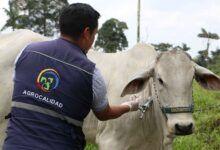 Photo of Agrocalidad prevé aplicar 200.000 dosis de vacuna contra la fiebre aftosa